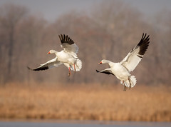 Final approach (tresed47) Tags: 2017 201701jan 20170104bombayhookbirds birds bombayhook canon7d content delaware flightshot folder geese general peterscamera petersphotos places snowgoose takenby us ngc npc