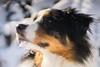 Snowdog junior (Tina In Love) Tags: aussie australien s australianshepherd hund dog merle haustier snow animal sony sonya7 trioplan outdoor fun schnee meyeroptikgörlitz trioplan28100 winter
