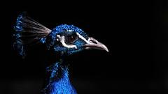 Blue (Nephentes Phinena ☮) Tags: nikond300s peacock pfau animals birds bird animal