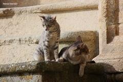Mis mejores amiguitos (Manu Varela - Fotografa Aeronutica y algo ms) Tags: gatos felinos minimos calle streent street ribadavia ourense orense piedra peldaos mascota gatitos cat escaleras
