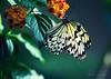 Profumi (♦♠ Jolly Joker ♣♥ CLOSED) Tags: butterfly nature flower color idea idealeuconoe famdanidae farfalla cartadiriso rice paper ricepaperbutterfly insect ali colori whiteblack green natura profumi jollyjoker
