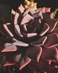 Heavenly Succulents (hannahdurk1714) Tags: succulent succulents delicate beautiful light shadows lightandshadow beauty natural naturalbeauty stunning edges shape plants flowers bloom life colors composition lighting heavenly plantphotography flowerphotography nature naturephotography perspective wildlife mandala sunshine sunlight naturallight naturallighting mothernature grow earth simple sublime peaceful landscape landscapephotography explore inexplore getexplored exploration bokeh bokehphotography iphone iphonephotography photog photography flickr
