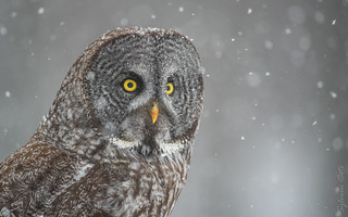 Chouette lapone / Great Grey Owl [Strix nebulosa]