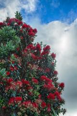 Pohutukawa Tree; (Jomak1) Tags: jomak1 january 2017 summer wellington newzealand pohutukawa metrosiderosexcelsa bright red flower blossom nature christmas tree stamens hdr blue sky cloud kilbirnie evergreen