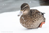 A duck snow dance (P & Y Photography) Tags: nature animal bird duck flock lake snow winter snowing flurry flurries fun funny playing white canon 5d3 5diii 70200 2xiii portrait