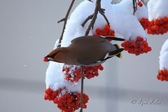 Waxwing on a rowan (Igor Falin) Tags: animals tree bird waxwing winter rowan wildlife berry colors nature red outdoors branch snow cold temperature food fruit twig wild feather frost sitting wing out rowanberry photography gray bunch eating white tail eye