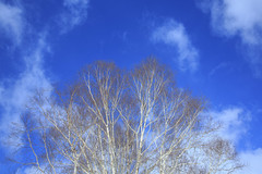 White birch (20EURO) Tags: whitebirch birch tree winter natuer landscape deadtree mountain forest woods colorful light sky blue wind leaf countryside strolling tsumagoi 白樺 canoneos5dmarkⅲ