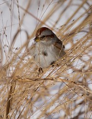Where's the Tree? (Feathered Trail Photos) Tags: nature newjerseybirds americantreesparrow mynj sparrow