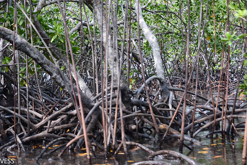 natongtong_mangroves