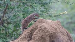 7DII3744.jpg (bryanleece) Tags: manyara mongoose tanzania