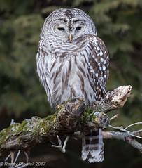 Unflappable (rdroniuk) Tags: birds raptors owls birdsofprey barredowl strixvaria oiseaux rapaces oiseauxdeproie chouetterayée chouettes