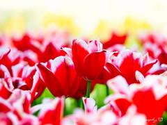 鬱金香 (紅襪熊 ʕ・ᴥ・ʔ) Tags: 国営ひたち海浜公園 常陸 海浜公園 鬱金香 tulip tulips olympus omd em1 m43 micro43 microfourthirds olympusem1 sigma 150mm macro bokeh sigma150mmmacro apo f28 sigmaapomacro150mmf28 sigmamacro150mmf28 150mmf28 sigma150mmf28