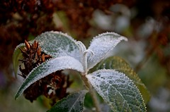 Frosty Leaves (DaveJC90) Tags: leaf leaves frost frosty frozen snow white macro clsoeup focus blur background tree bush green winter cold ice shape size light bright dark shadow morning colour colours crop croped nikon d5100 digital slr camera zoom lens 1855mm detail sharp sharpness