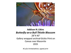 """Butterfly  on a Bull Thistle Blossom • <a style=""""font-size:0.8em;"""" href=""""https://www.flickr.com/photos/124378531@N04/32485427805/"""" target=""""_blank"""">View on Flickr</a>"""