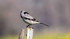 "The""Butcher Bird"" - Loggerhead Shrike (Bob Gunderson) Tags: birds california coyotevalley laniusludovicianus loggerheadshrike northerncalifornia santaclaracounty shrikes southbay depthoffield"