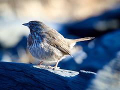 olympusomdem5markii olympus75300mmf4867ii mzuiko75300mmf4867ii kodiakak kodiakisland alaska sparrow