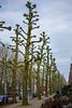 Weert - De platanen in de St. Jozefslaan moeten weer worden gesnoeid. (basicworksphotography) Tags: sintjozefslaan weert snoeien plataan platanen tree trres