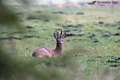Deer (ChrisAir86) Tags: deer couche chill wild life wildlife meadow