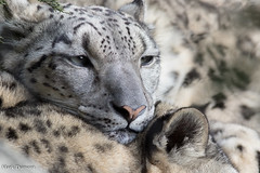 Snow Leopard Snuggles (Mark Dumont) Tags: animals cincinnati dumont leopard mammal mark snow zoo
