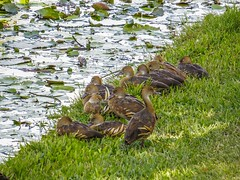 Plumed Whistling Ducks...napping time... (Anni - with camera back - will try to catch up) Tags: plumedwhistlingduck dendrocygnaeytoni waterways ponds creeks riverbanks grasslands largeflocks tropicalgrasslands waterlillies golfcourse abigfave brisbanequeensland windaroo australia