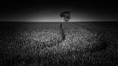 Breaking The Horizon (Nigel Jones QGPP) Tags: tree field lone alone single crops arable lines