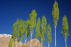 Nubra Heights (Perspective in Focus) Tags: travel blue trees sky india snow mountains green perspective tall himalayas ladakh nubra