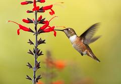 Rufous and exserta (Martin Dollenkamp) Tags: flowers garden hummingbird vancouverisland rufous rufoushummingbird selasphorusrufus salviaexserta