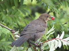 Juvenile blackbird (Ruth2208) Tags: bird blackbird
