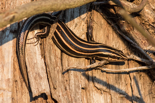 Southeastern Five-lined Skink - Plestiodon inexpectatus