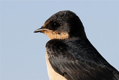 Hirundo rustica (Barn Swallow) (Nick Dean1) Tags: animal canon washington aves swallow washingtonstate animalia everett hirundorustica birdwatcher hirundo washingtonusa chordata 600mm spencerisland canon7d wildlifecanon600mmf4 thewonderfulworldofbirds birdperfect