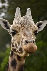 Giraffa camelopardalis DT [NZ Auckland Zoo] (4) (Archivo Murcilago Blanco) Tags: africa fauna auckland mammals mammalia aucklandzoo nuevazelanda ungulates giraf jirafa giraff mamifero artiodactyla giraffidae oceana cetartiodactyla ungulado ungulados tirira diegotirira archivomurcielagoblanco