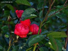 Rose (GerWi) Tags: rose blossom pflanze blumen blume bltter blten