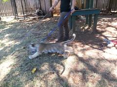 20150919_120408 (mjfmjfmjf) Tags: oregon zoo tigercub 2015 greatcatsworldpark