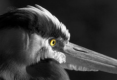In Explore... Great Blue Heron (Ardea herodias) (John A. Kelley) Tags: greatblueheron ardeaherodias 3000v120f 9000v360f purelynature 100commentgroup
