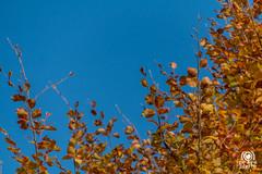 Colori autunnali (andrea.prave) Tags: autumn italy color colour fall folhas leaves yellow foglie jaune automne hojas italia colore laub herbst amarillo gelb giallo otoo  autunno farbe cor borgo medievale piacenza couleur feuilles    castellarquato