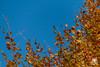 Colori autunnali (andrea.prave) Tags: autumn italy color colour fall folhas leaves yellow foglie jaune automne hojas italia colore laub herbst amarillo gelb giallo otoño 秋 autunno farbe cor borgo medievale piacenza couleur feuilles осень 色 葉 castellarquato цвет 颜色 黄 أصفر اللون