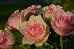 Near roses at sunset (Eric - horse traveler) Tags: pink flowers roses nature fleurs crépuscule fragile douceur fragility softtly