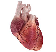 human heart (osserbayeva) Tags: life test illustration digital hospital painting 3d blood healthy model heart exercise symbol body drawing muscle tissue chest cartoon science system patient pump medical health human anatomy clipart trunk medicine vein artery pulse atrium sick stress biology teach healthcare vena physical aorta internal rate heartbeat electrocardiogram anatomical cardiology ventricle