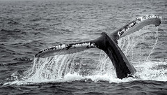 Humpback Whale Tail (craig_schenk) Tags: whale humpback humpbackwhale humpbackwhaletail tail splash sea ocean bay fundy novascotia canada water waves oceanwaters blackwhite bw detail texture brier island d300 nikond300 nikon