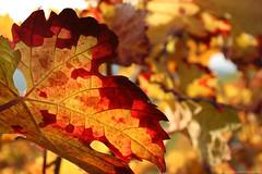 natural work of art (Axxolotl) Tags: autumn autumnfoliage fall nature colorful fallcolors herbst natur autumnleaves autumncolours fallfoliage vineyards colourful bunt viticulture herbstlaub badenwürttemberg weinblatt weinberge vineleaves vineleaf weinbau herbstfarben wengert herbstlich viniculture remstal weinstadt
