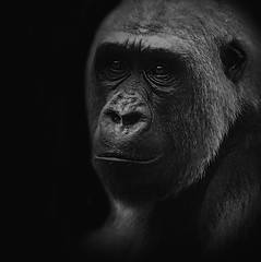 gentle giant (10000 wishes) Tags: portrait blackandwhite eyes moody gorilla expression gentle wildlifephotography