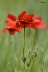 Trimapola (daniarnau) Tags: macro verde flor cereal prado cultivo amapola hierva