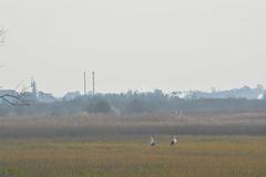 DSC_2980 (pedro.areias) Tags: birds cegonha salreu