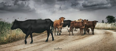 What he wants here? (dim.pagiantzas | photography) Tags: cows nature agriculture land landscape animals farm road sky clouds cloudy rainy trees field plants grass atmospheric outdoor canon