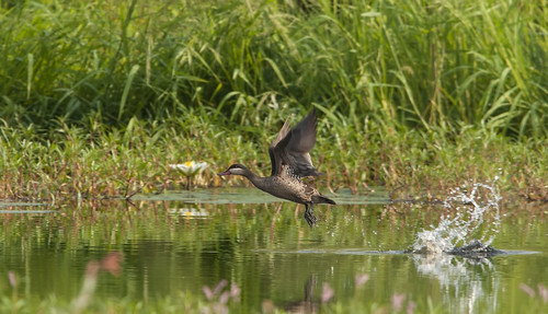 Red-billed Teal exploding out of water, Nylsvlei Nature Reserve, Limpopo Prov