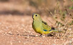 Elegant Parrot (chrissteeles) Tags: elegantparrot elegant parrot bird birding templers southaustralia australia canon70d canon