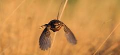 Stonechat (acerman17) Tags: stonechat nature wildlife flight flying bird animal reeds bokeh headon outside