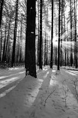 Snow star (reclaimednj) Tags: tuckerton newjersey unitedstates us 2017 nj bassrivertownship newgretna bassriverstateforest forest winter trees monochrome blackandwhite
