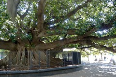 Large Banyan Tree has Supports for Branches in Buenos Aires, Argentina (Joseph Hollick) Tags: buenosaires argentina tree banyantree