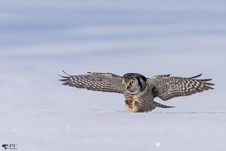 ''Patte de matou!'' Chouette épervière/Northerm hawk owl